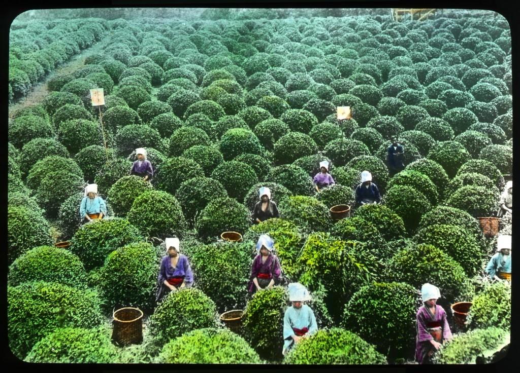 Recolección de hojas de té en Shizuoka, Enami Studio, n.º 570.
