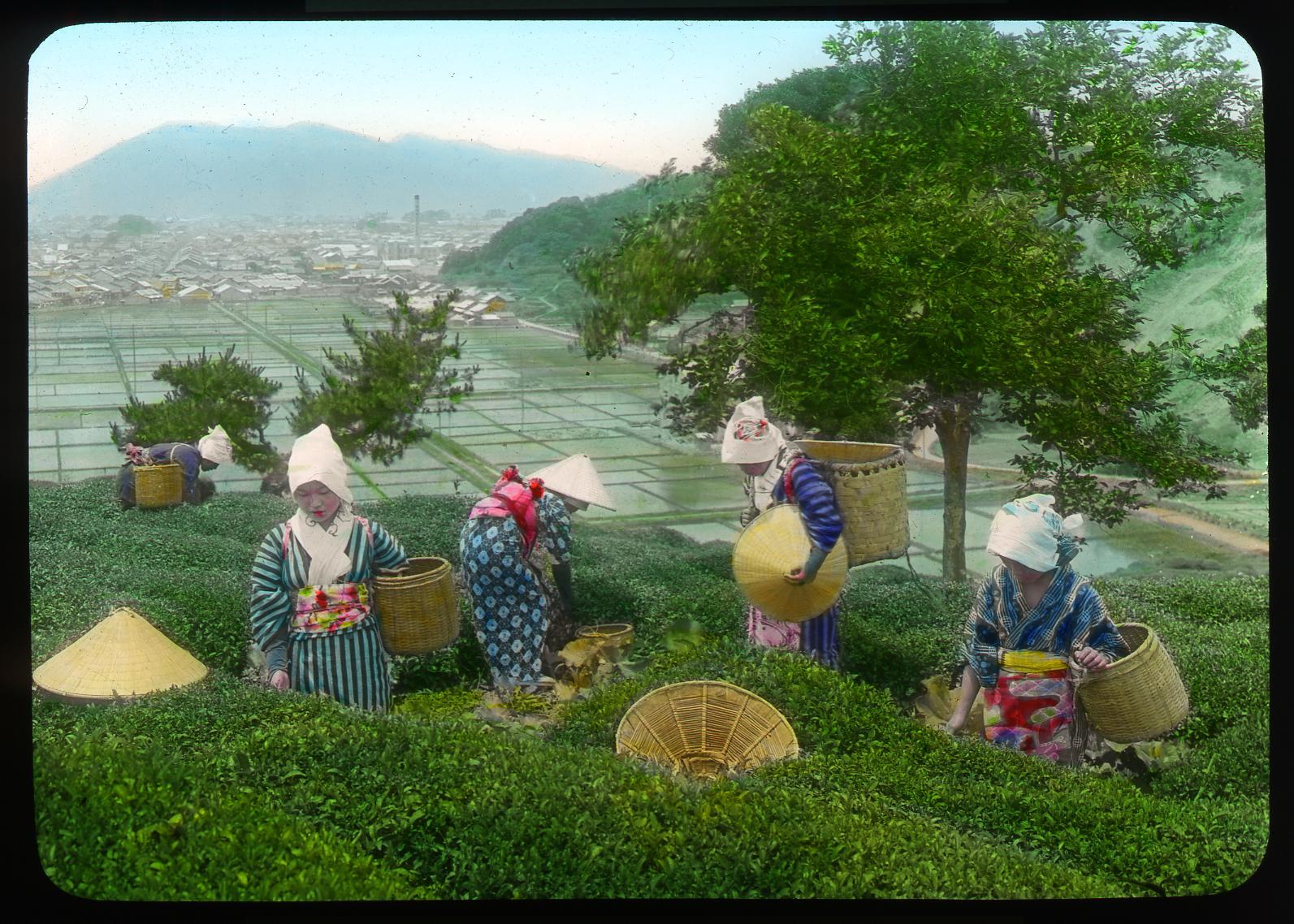 Recolección de hojas de té, Shizuoka, Enami Studio, n.º 583.